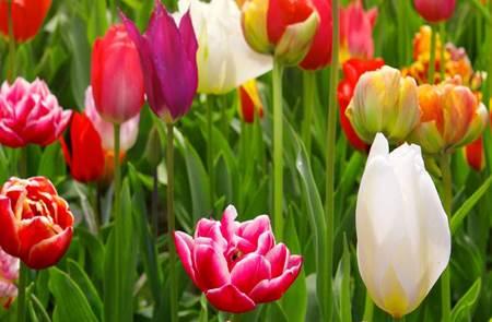 Vente de Tulipes à Damgan